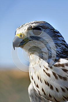 Falcon's Head Royalty Free Stock Photo - Image: 9994635