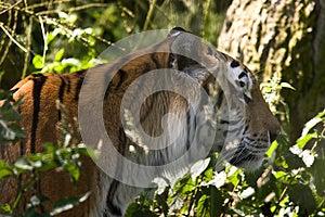 Tiger Walking Through Grass Stock Image - Image: 9994701