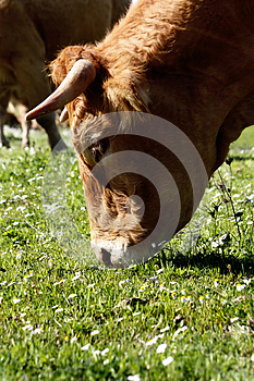Cow Eating Royalty Free Stock Images - Image: 9994959
