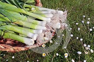 Bunch Of Fresh Leeks Produce Royalty Free Stock Photography - Image: 9995527
